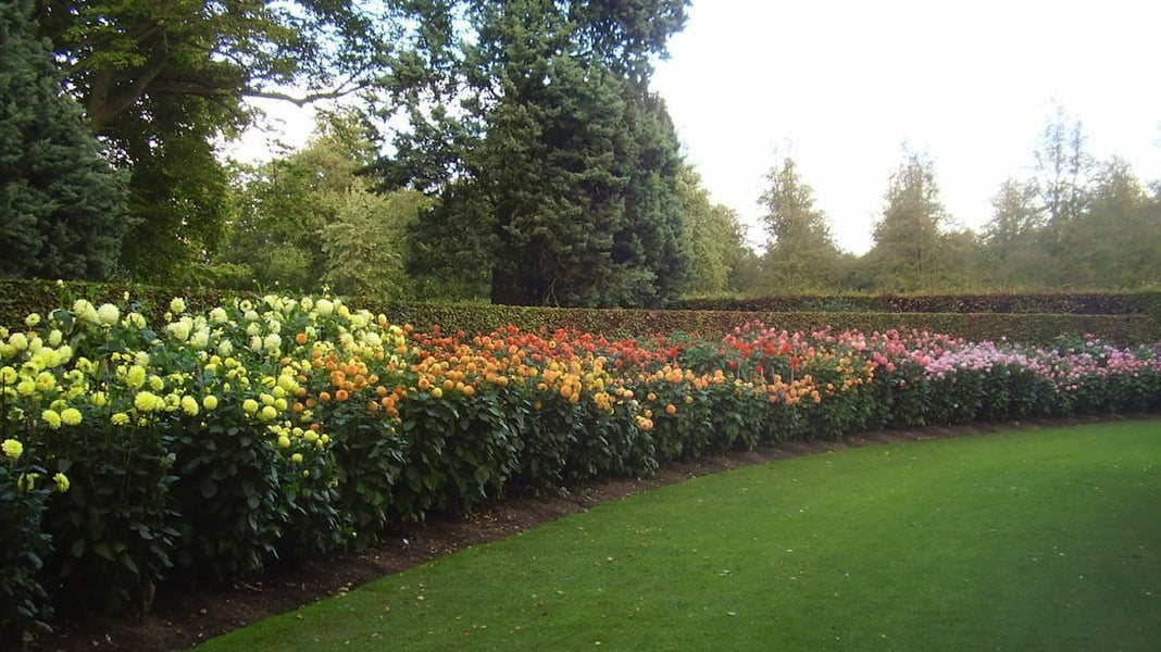 Dahlias at nearby Anglesey Abbey
