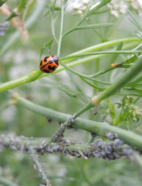 Aphids and ladybird. Photo Helen McKerral