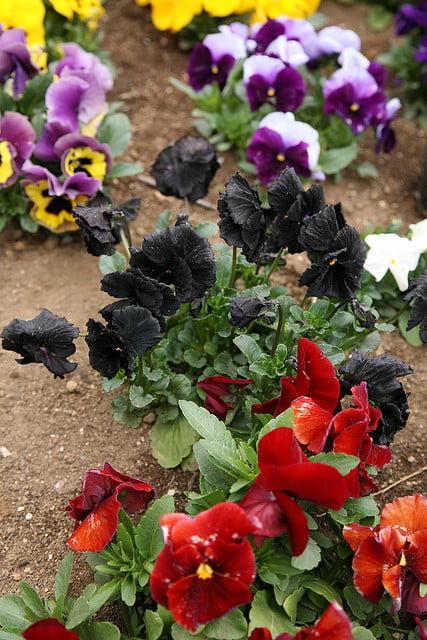 black pansies Photo wakanmuri