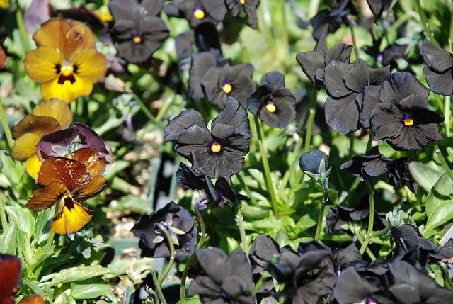 Black viola Photo kthread