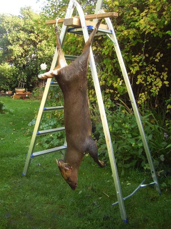 hanging deer