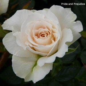 Rosa 'Pride and Prejudice'