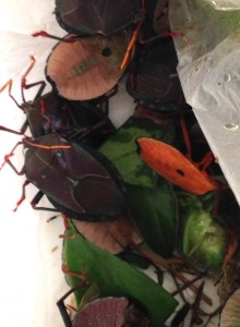 A jumble of bronze orange bugs ready to pop into the freezer