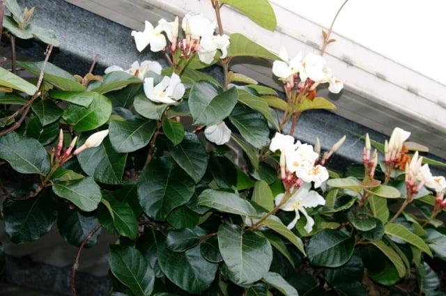 Climbing Frangipani (Conemorpha fragrans)