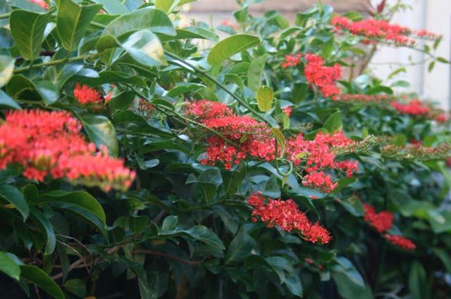 Flame Vine (Combretum coccineum 'Crimson Cloud')