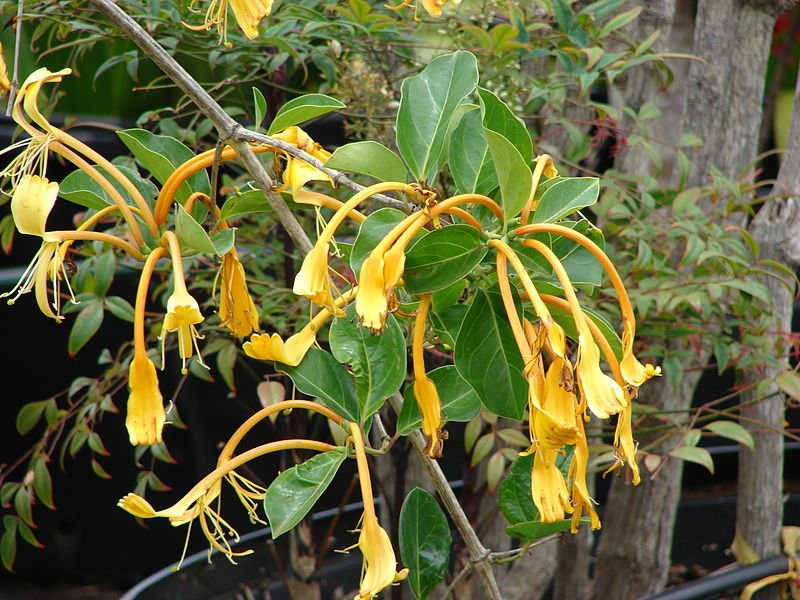 Lonicera hildebrandiana Photo Forest and Kim Starr