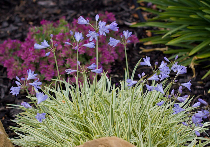 New agapanthus for a stunning blue summer - GardenDrum