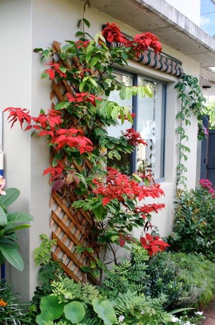 Quisqualis pseudomusiendifolia 'Red Riot'
