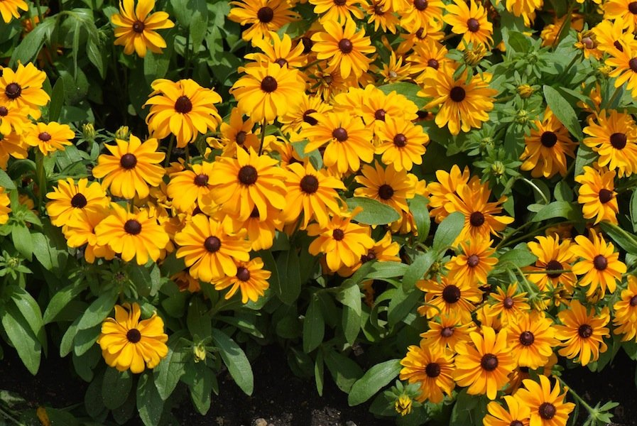 Rudbeckia 'Tigers Eye'