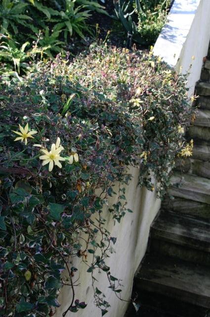 Senecio macroglossus variegatus