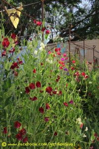 Five months after opening day and the beautiful heirloom sweetpeas are blooming up a storm!