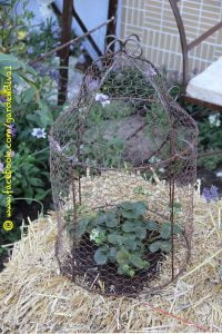 A strawberry plant grown in a bale of straw. I put a decorative bird cage over it to protect the berries from birds and little fingers!