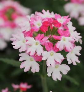 Verbena 'Bebop' Pink