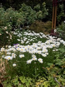 Happy daisies light up the garden
