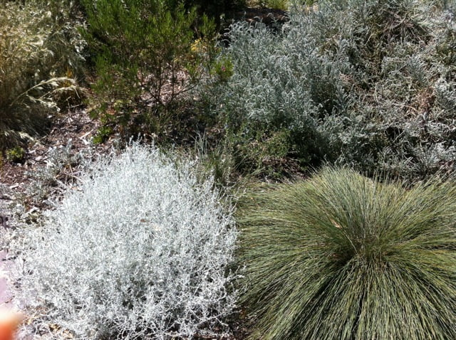 Silver leafed natives light up the space