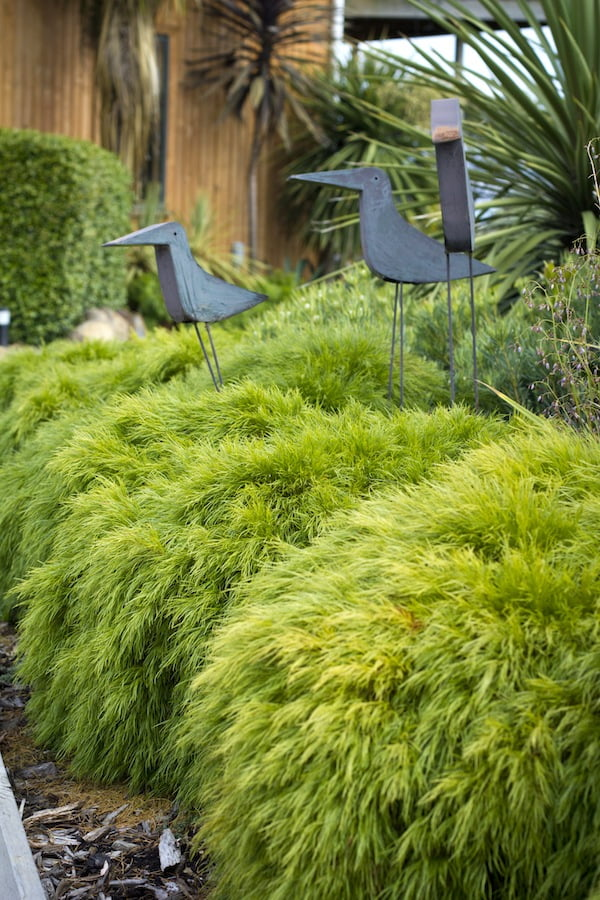 Acacia Limelight will lighten up your hosts' garden for years to come
