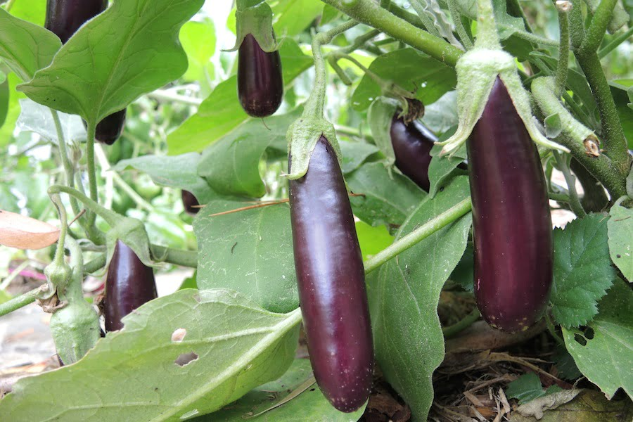 Lebanese eggplants