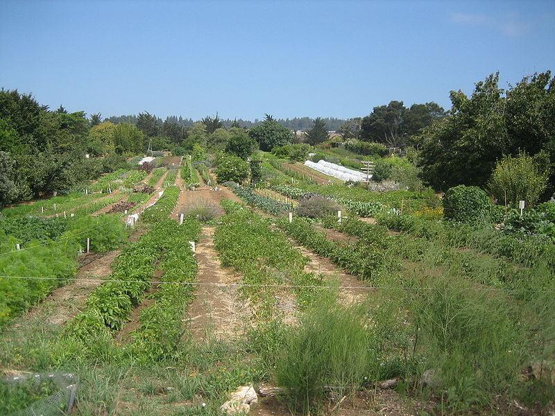UCSC Organic Farm Photo david silver