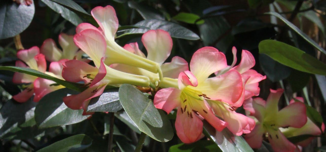 Vireya Rododendron