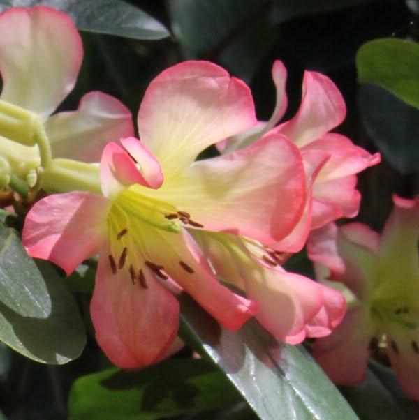 Vireya Rododendron closeup