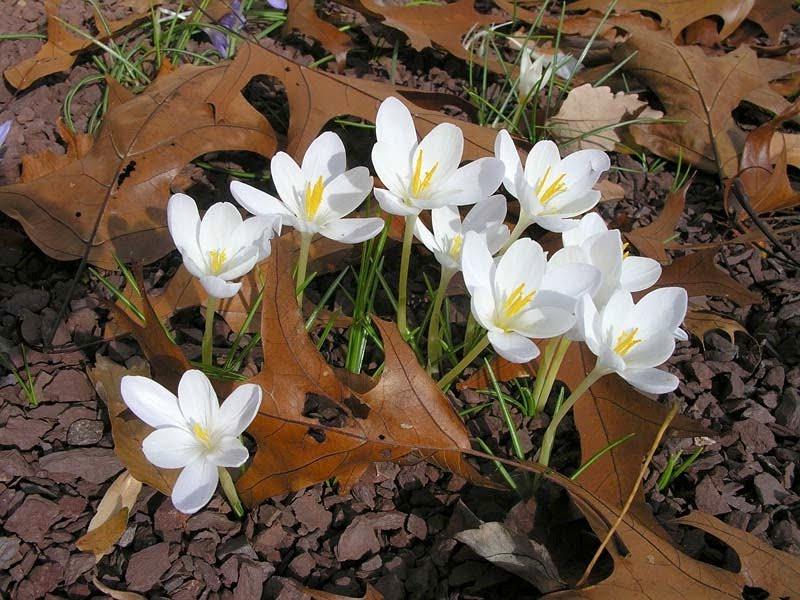 Crocus goulimyi white form
