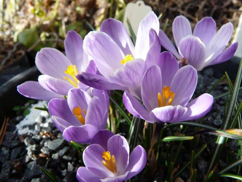 Crocus 'Lavender Stripe'
