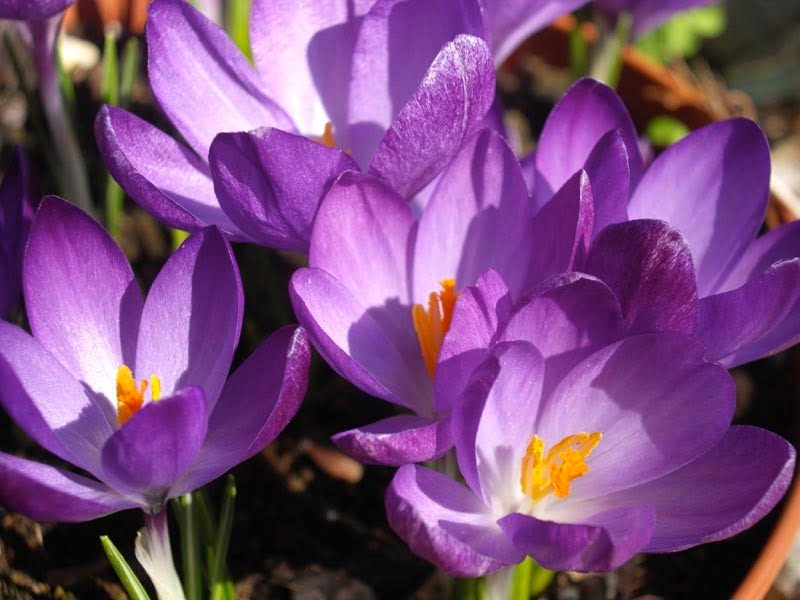 Crocus 'Whitewell Purple'