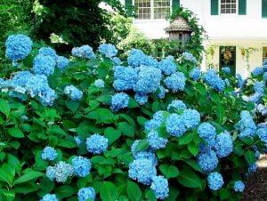 The hydrangea blues