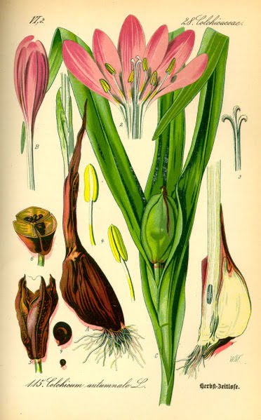 Botanical.Illustration_Colchicum_autumnale
