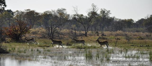 Buck in the delta