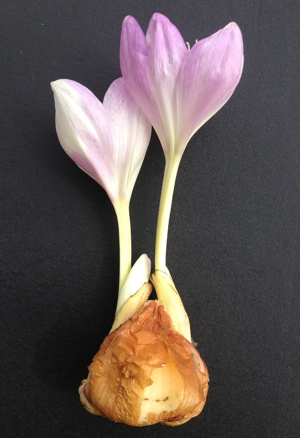 Colchicum bivonae corm