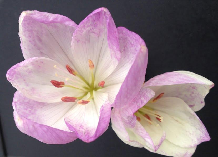 Colchicum bivonae flowers