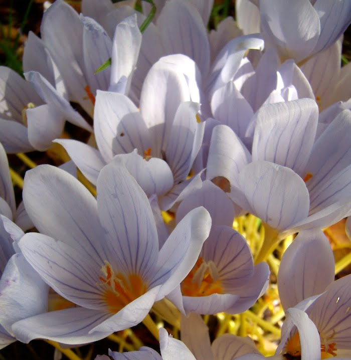Colchicum close up in Kew Gardens