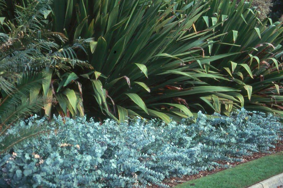 Coppiced Eucalytpus cinerea hedge