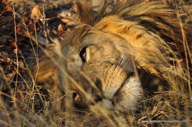 Lions (2)