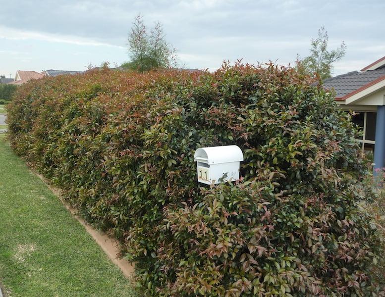 Syzygium australe hedge
