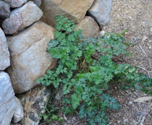 Parsley by the path