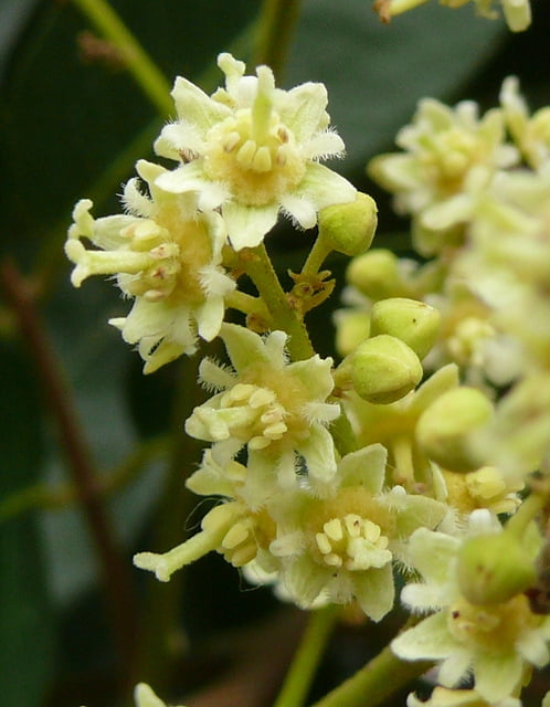 Dimocarpus longan flowers Photo Duy Thuong Ngo