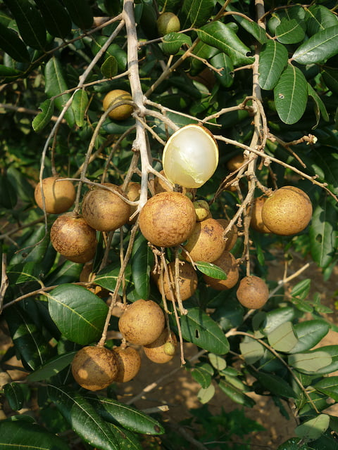 Dimocarpus longan tree fruit Photo Duy Thuong Ngo
