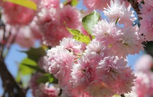 Double-flowering-cherry