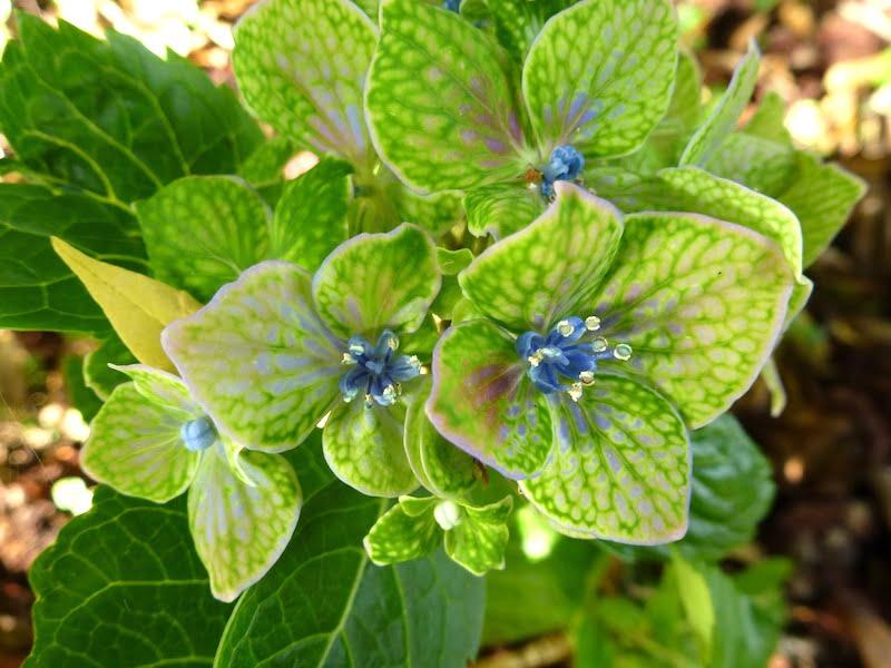 Hydrangea 'Green Mantle'. Photo Peta Trahar