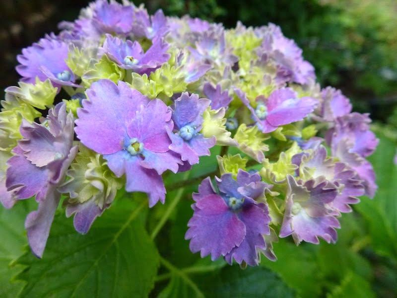 Hydrangea 'Prince Henry'. Photo Peta Trahar