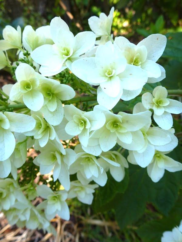 Hydrangea 'Snowflake'. Photo Peta Trahar