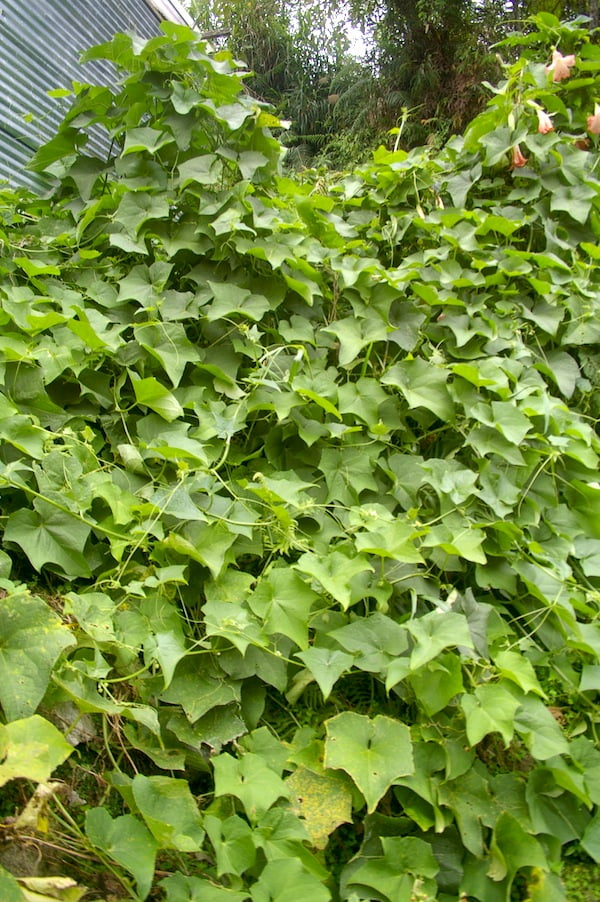 Look out - here comes the choko vine.....