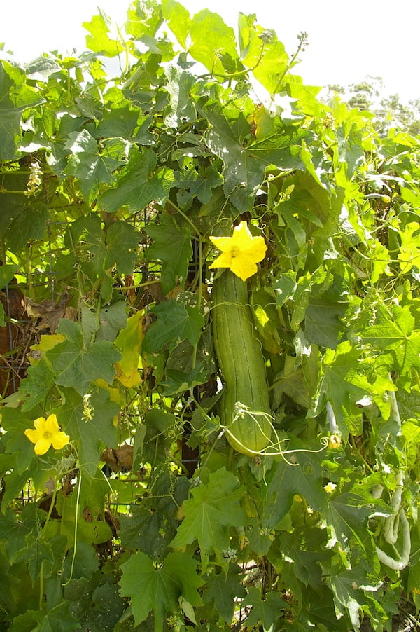 Luffa in flower and fruit