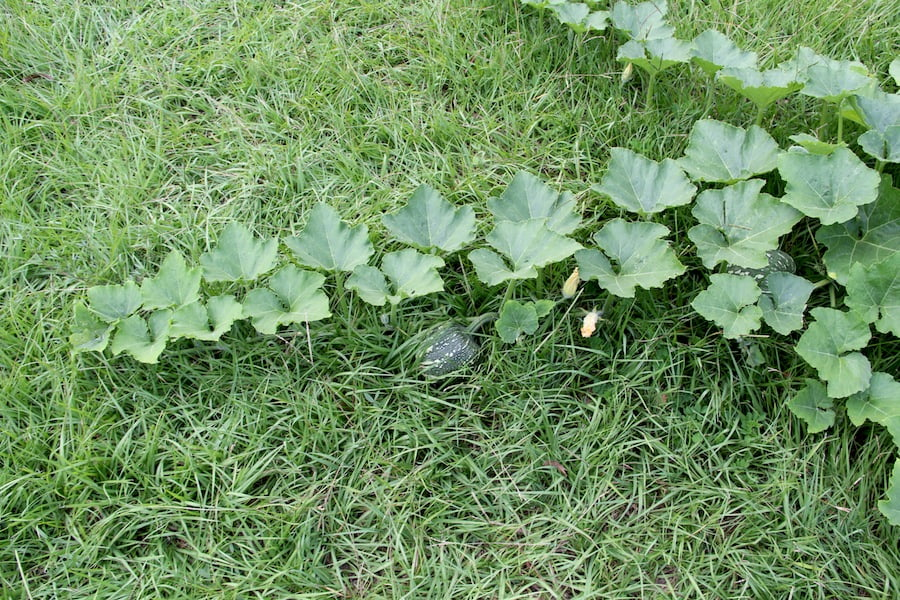 My 'Jap' pumpkin takes off across the lawn