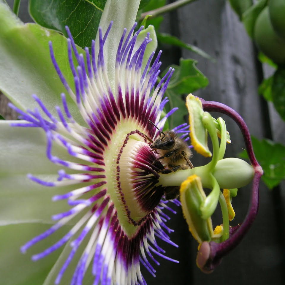 Passiflora edulis & a bee doing its thing.!