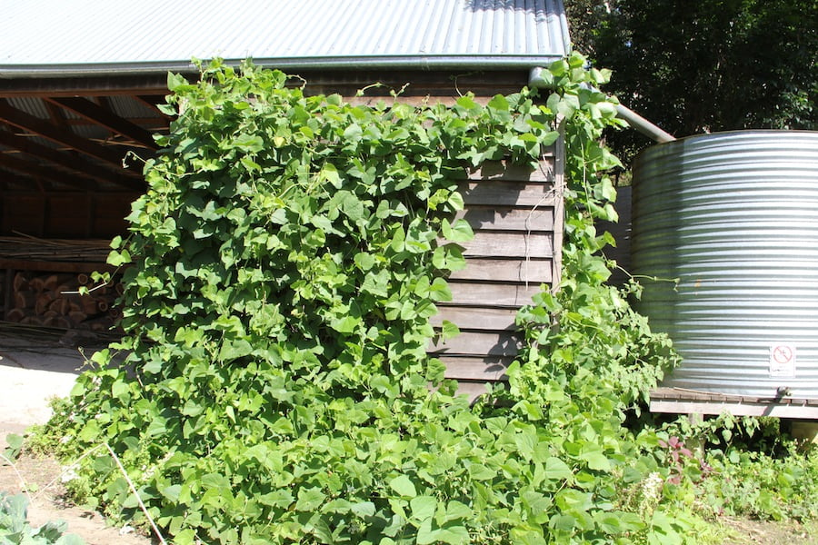 Poor man's bean will rapidly cover a wall as it has done here at Vaucluse House