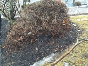 This spring before mulching, half the plant is dead. No question as a result of the mulch. ©2014BDG