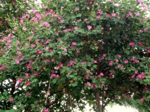 Pink orchid tree - Bauhinia